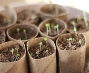 Cardboard rolls make great starter gardens